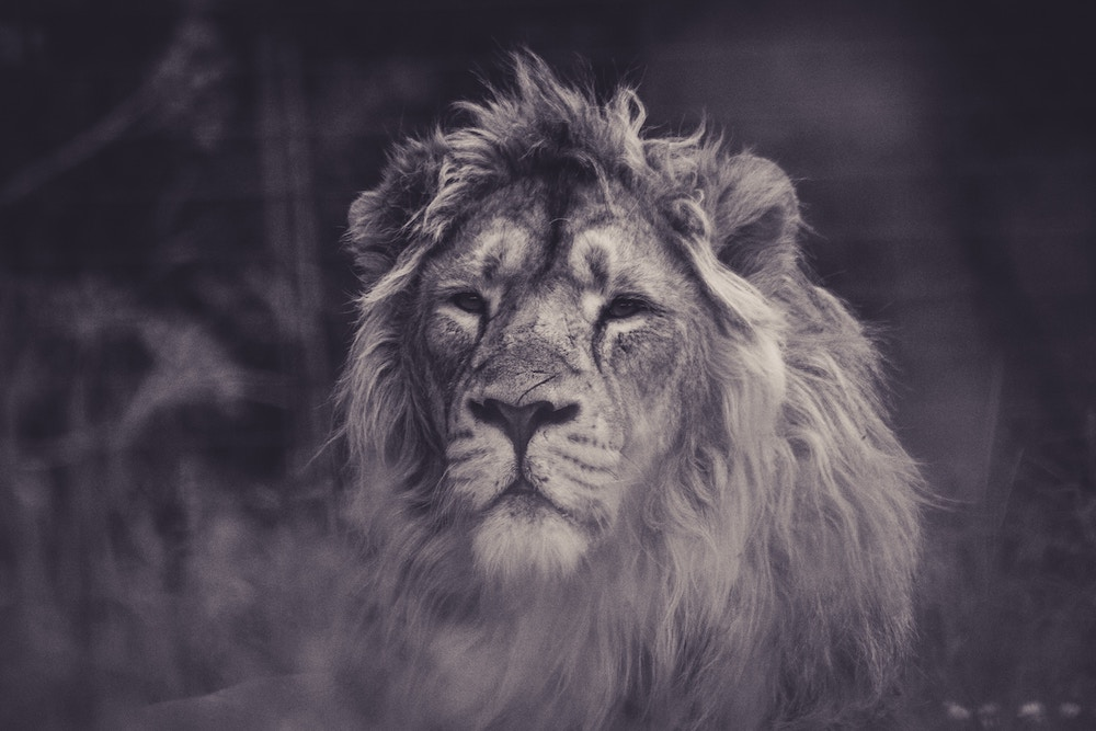 lion facing forward